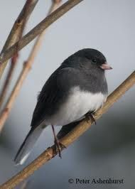 Junco which we call Snow Bird. They visit us all winter long.