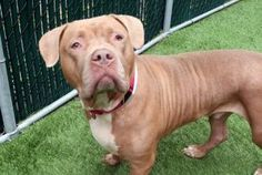 TO BE DESTROYED 11/16/17 A volunteer writes: Milo? You mean the big, hunky, gorgeous guy? Yes! That Milo! And so a reputation is born. And then I was told by staff that when the vet sat at the edge of his kennel to examine him, big, usually aloof, hunky Milo flipped over for a belly rub and it
