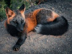 Melanistic Form of Red Fox (Vulpes vulpes) Cute Little Animals, Cute Funny Animals, Beautiful Creatures, Animals Beautiful, Cute Fox, Tier Fotos, Stuffed Animals, Animal Photography, Girl Photography