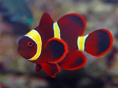 The Hobby Of Saltwater Aquarium Fishkeeping Quite simply, a saltwater aquarium is designed to offer saltwater marine life with a familiar and contained Marine Aquarium, Marine Fish, Saltwater Aquarium, Aquarium Fish Tank, Reef Aquarium, Pretty Fish, Beautiful Fish, Underwater Creatures, Ocean Creatures