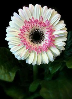 Shade Garden Flowers And Decor Ideas Gerbera Daisy Types Of Flowers, All Flowers, Amazing Flowers, Colorful Flowers, White Flowers, Beautiful Flowers, Daisy, Gerber Daisies, Aster