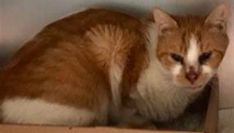 ADDISON - 17002 - - Brooklyn ***TO BE DESTROYED 01/04/18***SWEET & PURR-TY YOUNG CREAMSICLE GAL, LADY ADDISON NEEDS YOU!!! The pink/red tissues were confirmed as an aborted fetus. Needs continued monitoring for any further aborted tissues/fetuses. Please help ADDISON today by offering to foster or adopt. ONLY HAS TIL NOON TOMORROW. - Click for info & Current Status: http://nyccats.urgentpodr.org/addison-17002/