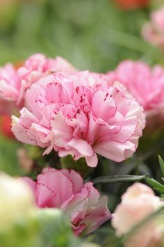 Sfumature delicate di rosa per questi garofani, o dianthus