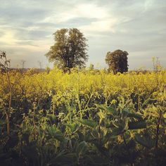 Going to miss these beautiful yellow fields when we leave Germany.
