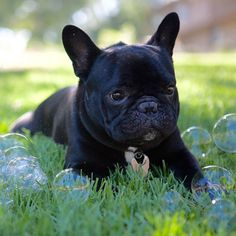 """""""Can we TALK about these bubble things?! They. Are. Crazy!!"""", funny French Bulldog"""