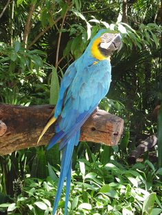 Guacamayo azul de perfil