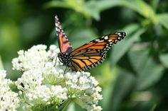 Save the Monarch butterflies! Grow milkweed, and other wildflowers, in your yards. Habitat loss has lead to the death of Monarchs by the millions