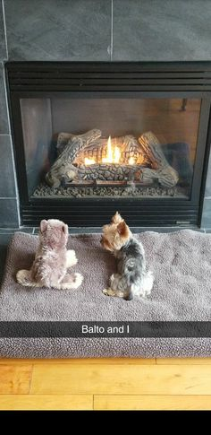 The Popular Pet and Lap Dog: Yorkshire Terrier - Champion Dogs Yorkies, Raza Yorkshire, Yorshire Terrier, Terrier Puppies, Cute Puppies, Cute Dogs, Top Dog Breeds, Cute Animals, Animals And Pets
