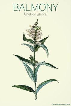 Information on the traditional uses, dosages, substances, health benefits and side effects of the medicinal herb balmony (Chelone glabra)