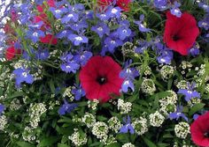 Red petunia, white alyssum and blue lobelia.