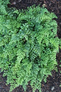 "A diantum venustum is one of the most coveted of the hardy maidenhair ferns, one of the great all-time ferns."" This dainty semi-evergreen gem is amazingly cold hardy. While slow to get started, Adiantum venustum makes a nice patch to 3' wide in 5-10 years, depending on the quality of soil preparation. Adiantum venustum is a superb, easy-to-grow, deer-resistant, evergreen groundcover for the woodland garden!www.plantdelights.com"