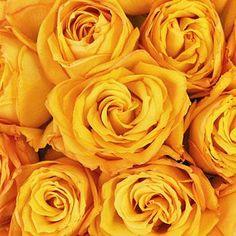 Golden Rod Yellow Rose - 75 Roses