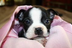 Boston Terrier puppy by Lisa Williams