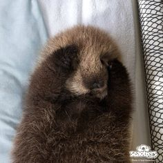 Maggie loves otters | Peekaboo fluffy otter!! Source:...