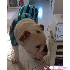 Camiseta Deportiva del Inter para perros #ModaCanina #Bulldog - Esta es la camiseta Deportiva para todos los perros que son fans del equipo italiano de Inter de Milán: Disponible para perros pequeños y mediano