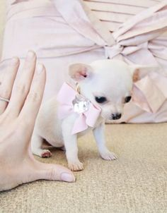 Micro Teacup teacup Chihuahua - This is about the size Sparkle was when she came to live with me!