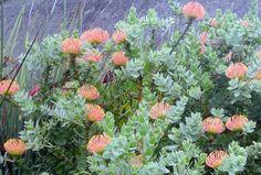 Proteas at Kirstenbosch Botanical Gardens, Cape Town