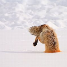 Diving for lunch. (fox)