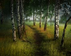 Birch trees to guide me through the green pathway.