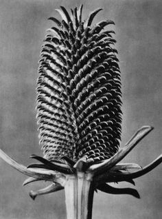 photography by Karl Blossfeldt. - photography by Karl Blossfeldt. Organic Structure, Natural Structures, Natural Forms, Organic Shapes, Karl Blossfeldt, Parts Of A Plant, Gray Background, Macro Photography, Photography Ideas