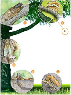 17-year cicada life cycle, illustration by Patterson Clark