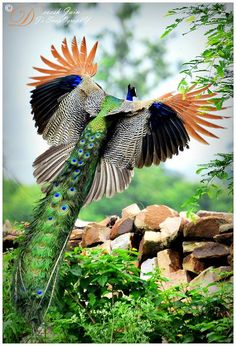 Peacock in flight - I honestly have never seen a Peacock in flight from this angle before. So beautiful! -sr