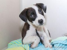JAKE - ID#A459493 - located at Harris County Animal Shelter in Houston, Texas - 14 WEEK OLD Neutered Male Lab Retriever - at the shelter since July 05, 2016.