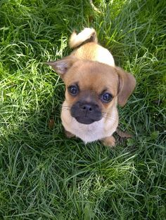 Ralph the chihuahua/pug