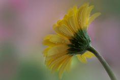Yellow Gerbera - null