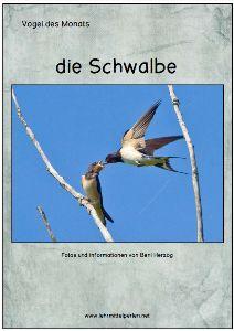 Free: Vogel des Monats: die Schwalben