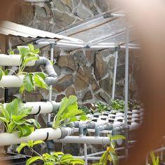 Selamat tinggal Bulan Mei. Bulan Mei ini Sobat Indmira sudah menanam atau panen apa saja nih? Ingat agenda Indmira bulan Juni mendatang yaitu Pelatihan Hidroponik Dasar pada tanggal 4 Juni 2016. Ajak teman atau saudara kamu yang ingin memulai hidroponik untuk ikutan ya  #IndmiraPic #hydroponics #aquaponics #aqua #organic #urbanfarming #vertikultur #verticalfarming #hidroponik #hidroponikindonesia #akuaponik #planting #gogreen #saveearth #savewater #noplastic #nofilter #plants #leaf #leaves… Vertical Farming, May, Hydroponics, Instagram Posts, Plants, Hydroponic Gardening, Plant, Planets, Aquaponics