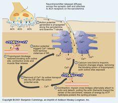 stages of actin myosin crosss bridge formation