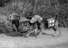 Airedales carry rations and supplies for a wounded English soldier in 1939- Dogs of War