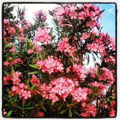 Good morning! #flowers #trees #sky #colours #rose #green #blue #sun #parque_das_nações #lisboa #Portugal #nature #light #instagram #webstagram #statigram #igers #igersportugal #photooftheday #picoftheday - @naerp26- #webstagram