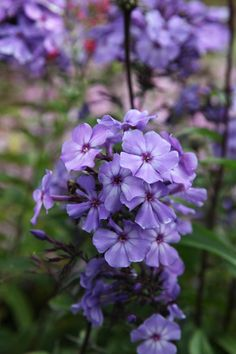 Phlox Phlox paniculata 'Blue Evening' wide x high Position: full sun or partial shade Soil: fertile, well-drained soil Rate of growth: average Flowering period: July to September Hardiness: fully hardy Amazing Flowers, My Flower, Fresh Flowers, Purple Flowers, Beautiful Flowers, Herbaceous Border, Purple Garden, Trees To Plant, Garden Inspiration