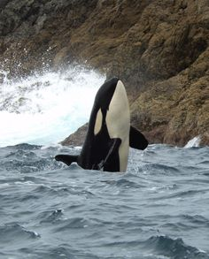 Good Morning! Young orca surveying the world above in the waters of New Zealand. Photo/ Orca Research Trust