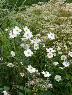 Anemone hybrida 'Whirlwind' and Aster umbellatus
