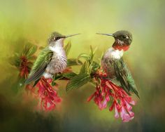 A male and female ruby throat-ed humming bird pair pause to look at each other.