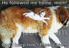 He followed me home, mom! Can I keep him? Pleeeease?! Funy Animals, Cute Funny Animals, Animals And Pets, Cute Cats, Funny Babies, Funny Dogs, Goofy Dog, Funny Animal Memes, Cute Creatures