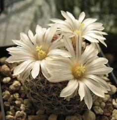Mammillaria albiarmata