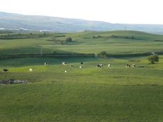 Cows On The Field Next To Tandle Hill Park