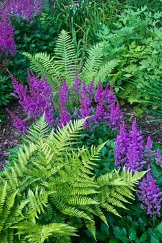 Ferns Astilbe are a perfect mix for the shade garden, creating a soft and colorful display. While ferns are initially expensive, they are a hardy perennial and multiply rapidly. They are easily separated to be transplanted in new beds or given to friends. Hardy Perennials, Flowers Perennials, Planting Flowers, Purple Perennials, Flowers Garden, Flower Garden Design, Garden Landscape Design, Shade Garden Plants, Shrubs For Shade
