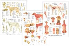 Canine anatomical posters