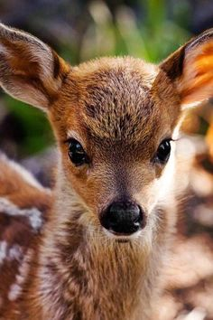 This face is so very, very cute.   Has some of the same features as a Pomeranian.   Those eyes, that nose.  But it's a beautiful doe.