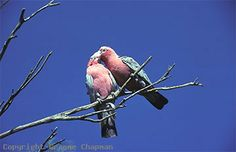 Since the advent of European settlement and subsequent agriculture, Galahs have spread in Australia to such an extent, particularly to coastal regions from the inland, that they have become an everyday bird to all except inner city dwellers.That such a beautiful bird can be regarded as a pest in many regions may seem amazing to some non-Australians, but that indeed is the case.