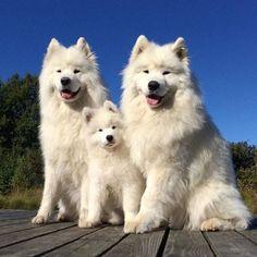 Самоедская собака — в просторечии — самоед, одна из древнейших пород собак. Полон противоречий. Самоеды — дружелюбные, весёлые, сообразительные собаки, которые не любят беспрекословного послушания и подчинения и иногда бывают очень упрямыми. Несмотря на это, они очень привлекательны. Склонны к бродяжничеству, выносливы и неприхотливы, сохраняют игривость до старческого возраста. Самоедские собаки предпочитают не лаять, хотя некоторые из них бывают очень бдительными, любят детей. На фото…