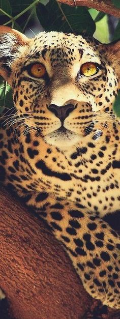 Lovely picture of a leopard.