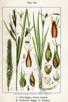 Oeverzegge - Carex riparia