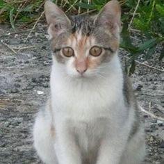 「鈴子の妹マイちゃん」  鈴子の妹マイちゃん。鈴子一族は、お母さんが、私の知人の飼い猫グレイちゃんにそっくりなため、グを取って、レイちゃんと読んでました。  その子供たちなので、ルイ、ケイ、ユイ、ミイ、マイと全部、イで終わる名前に統一してました。そう、鈴子は、ノラ猫時代、「ミイちゃん」だったんですよ💦  マイちゃんは、控えめで怖がりなため、一度も触らせてくれませんでした😅パステル三毛ちゃんなのが、風子と一緒なので、私はむしろ鈴子より、マイちゃんを気に入ってたのですが、触らせてくれた鈴子が結局、飼い猫になったのでした🌸  まあ、でも、飼い猫になる子との縁は、前世から決まっているみたいなので、やっぱり縁とかあるのかもしれないですね😅 #ニャンコ#ねこさん#にゃんこ#pet#猫#ねこ#ネコ#にゃんだふるらいふ#ネコ部#ねこ部#にゃんすたぐらむ#ニャンスタグラム#cat#cats#可愛い#かわいい#かわいすぎる#三毛猫#飼い猫#美猫#美しい#cute#ねこ大好き#猫大好き#ねこ好き#猫好き#ねこちゃん#愛猫#ノラ猫