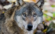 A wolf seen in the bison enclosure in Springe, Germany